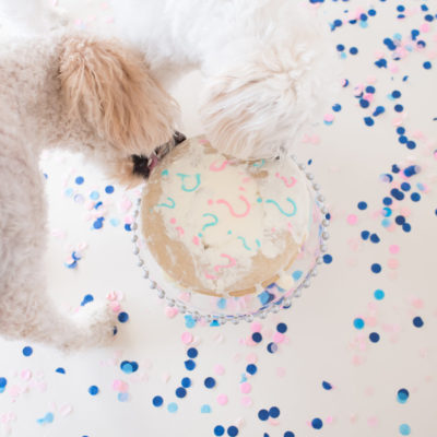 Goldendoodle Gender Reveal